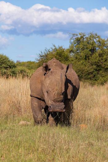 White rhino out