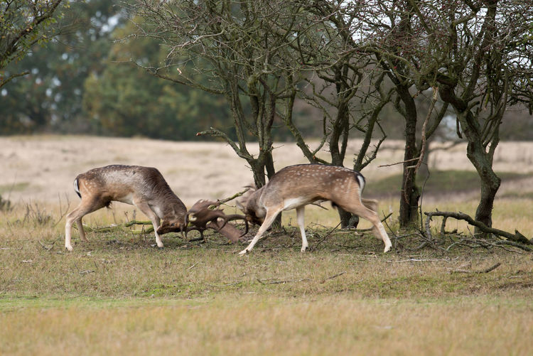 Deer fighting by trees on field