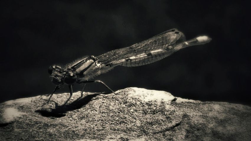 Dragonfly Darning-needle Water Bugs Insects  Flying Insects Black And White UnderSea Black Background Insect Sea Life Animal Themes Close-up Animal Wing Damselfly Animal Antenna Visual Creativity Summer Exploratorium