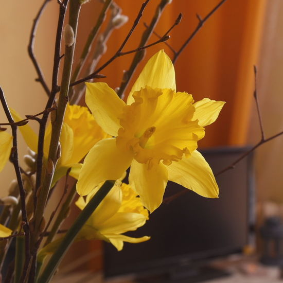 Beauty In Nature Close-up Daffodil Day Flower Flower Head Fragility Freshness Growth Nature No People Petal Plant Yellow