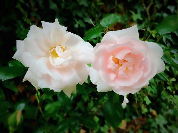 🌹🌹Deux nouvelles Roses dans le jardin 🙏☀️👍 The Essence Of Summer FLEUR ROSE 🌹ROSE🌹 Dans Mon Jardin Fleurs Fleur Flower Flowers The Great Outdoors - 2016 EyeEm Awards