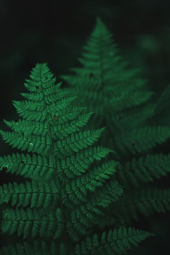 Fern Duo Picoftheday Photooftheday Photography Vscocam VSCO Botanical Outdoors Detail Dark Moody Green Focus Green Color Plant Leaf Growth Plant Part No People Nature Beauty In Nature Fern Natural Pattern Tranquility Focus On Foreground