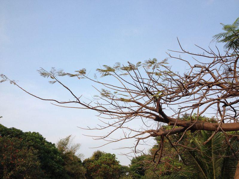 Cabangan Pohon
