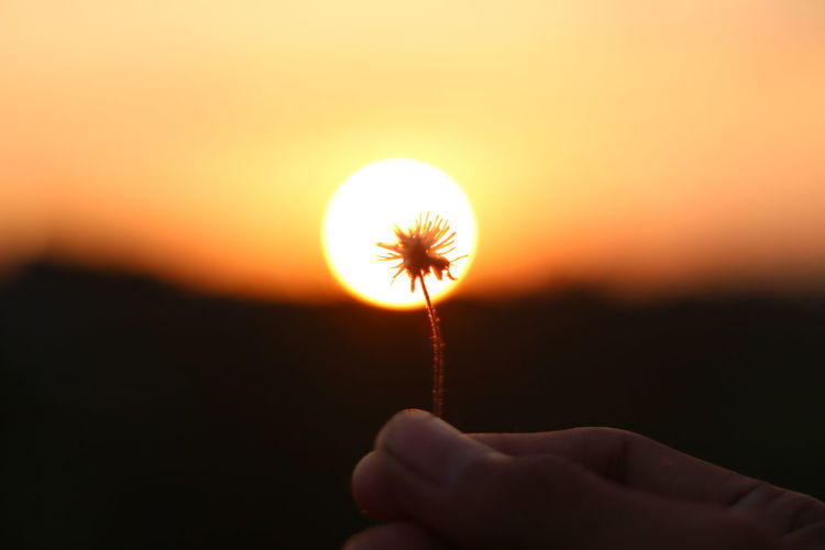 Cropped hand holding dandelion against sun during sunset
