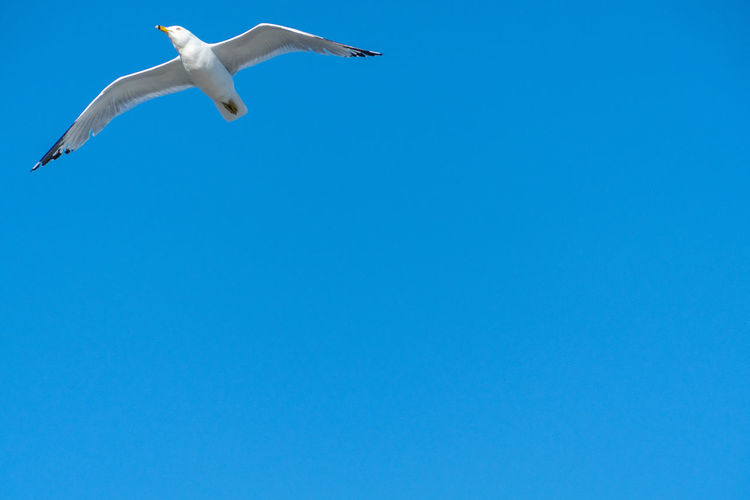 Low angle view of seagulls flying against clear blue sky