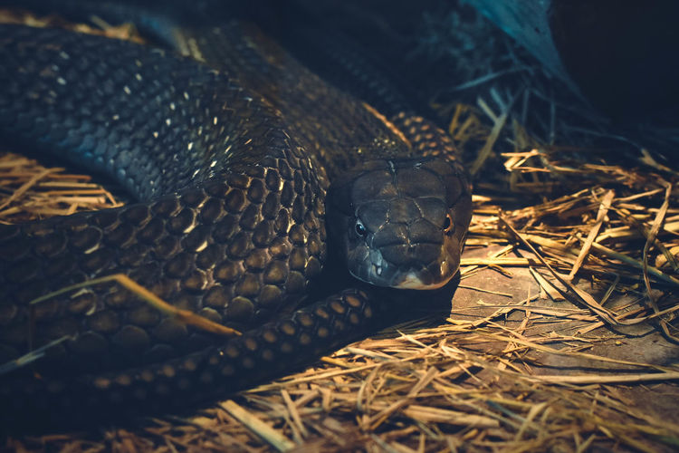 Mexican black kingsnake coiled in zoo