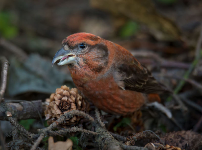 Red crossbill eating silver fir cones Beak Feeding  Loxia Curvirostra Red Animal Themes Animal Wildlife Animals In The Wild Bill Bird Close-up Crossbill Day Male Nature No People One Animal Outdoors Red Crossbill