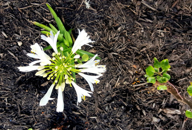 Agapanthus Front Yard Gardening Beauty In Nature Close-up Day Flower Flower Head Fragility Freshness Green Color Growth Leaf Nature Outdoors Petal Plant White Color White Magic