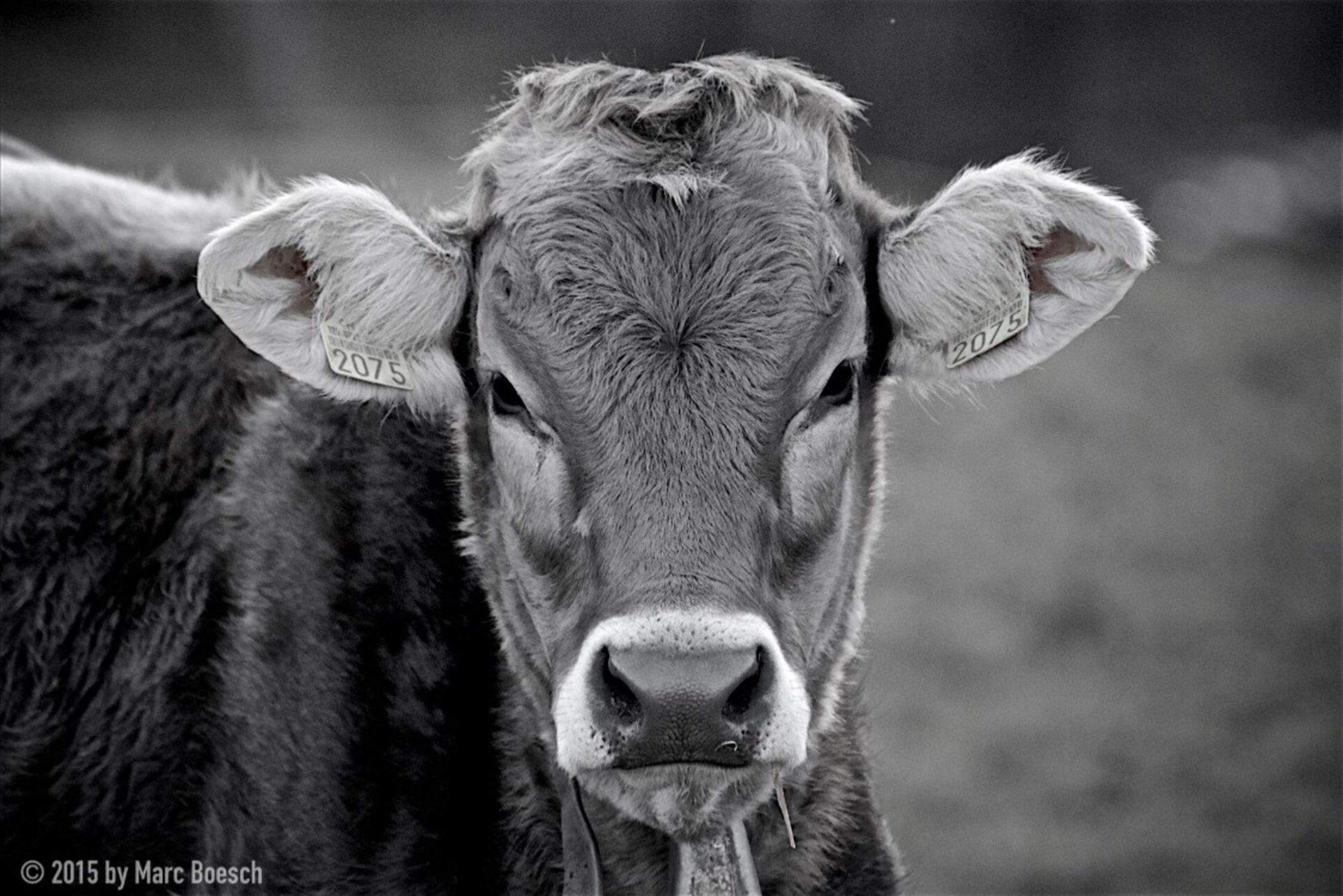 animal themes, focus on foreground, mammal, livestock, animal head, close-up, one animal, horse, domestic animals, herbivorous, animal body part, portrait, cow, field, front view, day, outdoors, looking at camera, two animals, wildlife