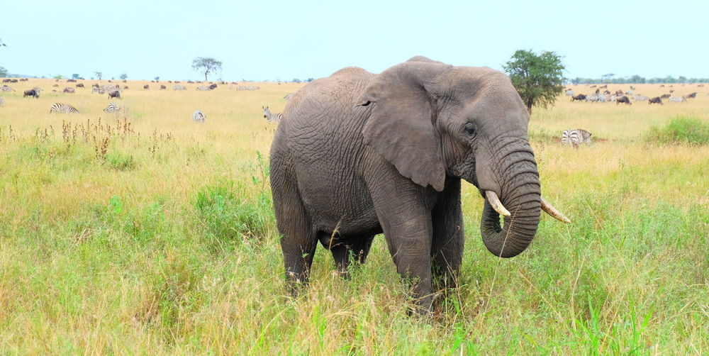 African Elephant Animal Animal Themes Animal Trunk Animal Wildlife Animals In The Wild Beauty In Nature Day Elephant Full Length Grass Landscape Mammal Nature No People Non-urban Scene One Animal Outdoors Safari Animals Sky Tusk