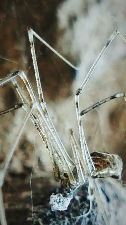 Outdoors Day Nature Close-up One Animal No People Cellar Spider Spider Spider :)