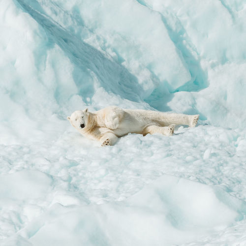 High angle view of animal resting on snow covered landscape
