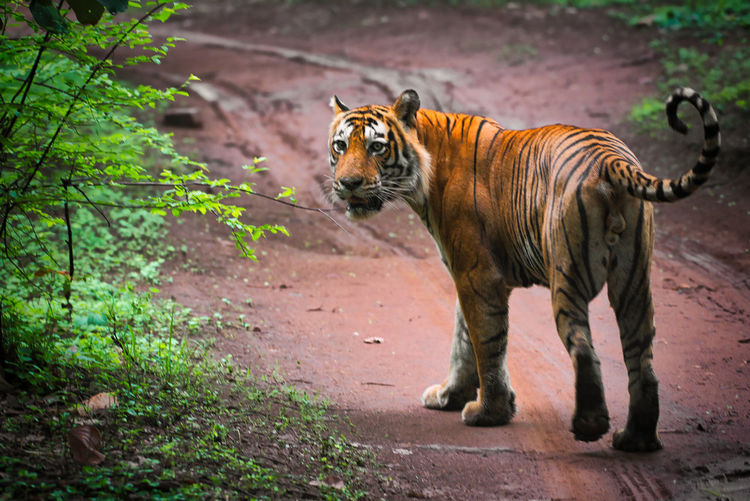 The tiger in ranthambhore national park