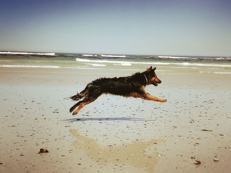 #doginaction Loving Dog Adorable Oup Playful Dog Naturelovers In The Moment Beach Beach Day Ocean Side Clearskies Beach Front Water Pets Sea Beach Dog Swimming Jumping Wave Mid-air Motion Purebred Dog German Shepherd Sandy Beach Puppy Running