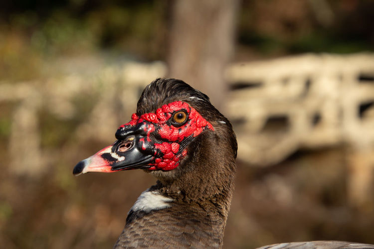 Colorful muscovy duck head