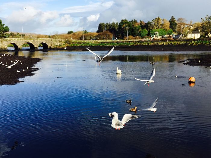 Before Christmas the weather is incredibly beautiful in Ireland 🇮🇪 Ballydehob Clear Day Bright Colors West Cork Eye4photography  Ireland Westcork Seagulls Swan Beauty In Nature Flying Bird