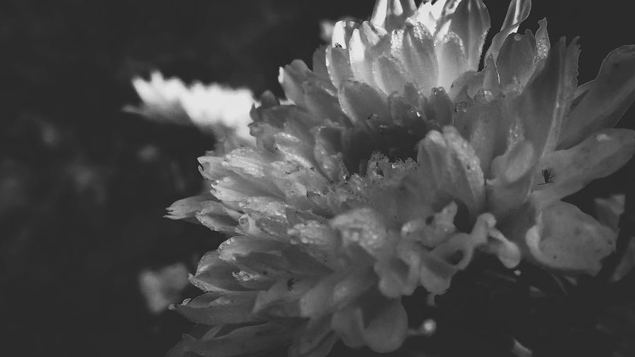 Sky Flowerporn Blackandwhite MonochromePhotography Macrophotography Monochrome Closeup Sunlight Love Plants Summer Flora Nature EyeEm Selects Flower Head Flower Petal Close-up Plant In Bloom Greenery Spring Dahlia Plant Life Botany Lush Blossom Blooming Focus Blossoming
