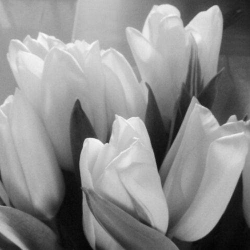 No por qué sé fue él brillo temporal de tu color, pierdes la magia de tu significado. Igesguadalaja Ig_mexusa Igerspuebla_bn IG_MEXICO blackandwhite bws_worldwide b&w igersoftheday flowers tulip picoftheday instablackandwhite insta_bw