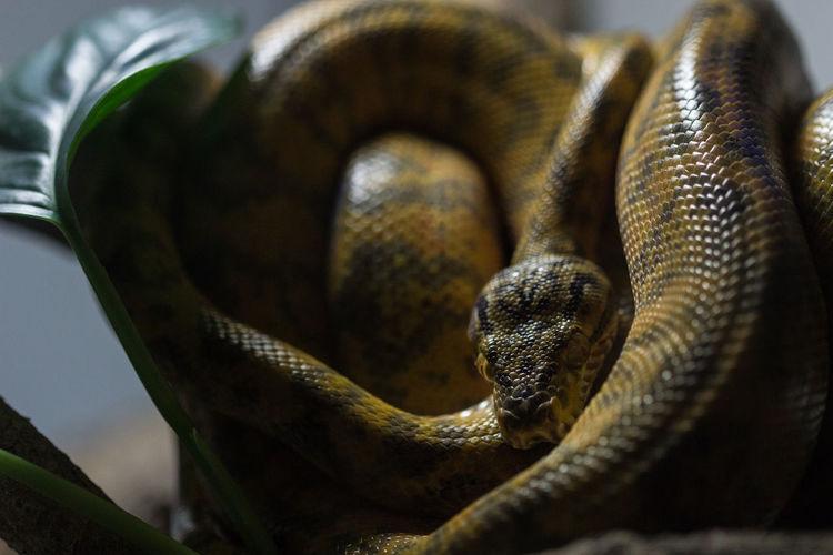Close-up of python
