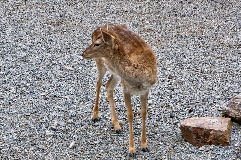 sika deer Sika Deer Animal Themes Animal One Animal Mammal Animal Wildlife Animals In The Wild Vertebrate No People Nature Zoology Standing Day Solid Brown Outdoors High Angle View Land Rock Sunlight Full Length