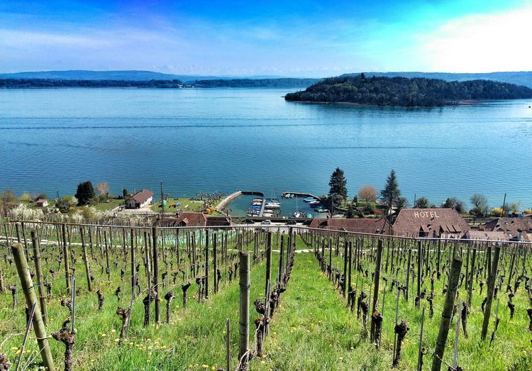 Vineyard Lake Island View Harbour Port Lake Bienne Landscape Switzerland Myswitzerland