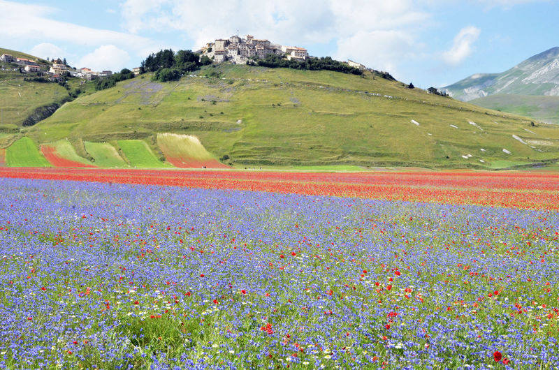 Flowers Of EyeEm Flowers 🌸🌸🌸 Beauty In Nature Day Earthquake Area Earthquake In Italy Field Flower Flowering Plant Flowers Flowers :) Grass Land Landscape Mountain Nature No People Plant Sky Tranquil Scene Tranquility
