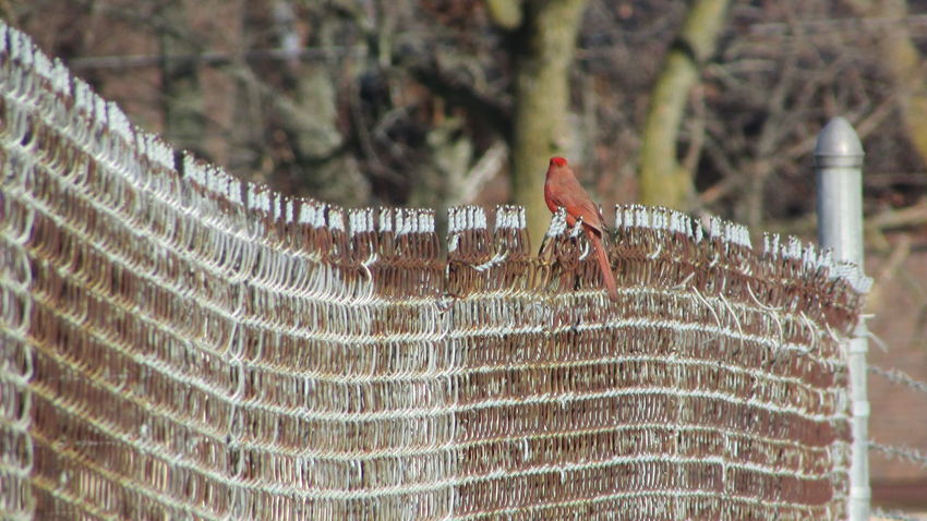 Went For A Walk Caught This Guy Chillin On The Fence... Is He A Cardinal Birds🐦⛅ Walkway Cadillac Michigan
