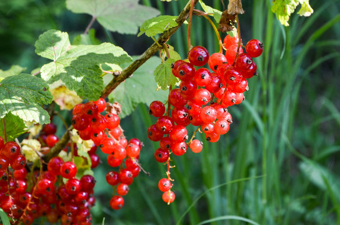 Redcurrant Beauty In Nature Berry Fruit Close-up Currant Day Focus On Foreground Food Food And Drink Freshness Fruit Green Color Growing Growth Healthy Eating Leaf Nature No People Outdoors Plant Red Tree