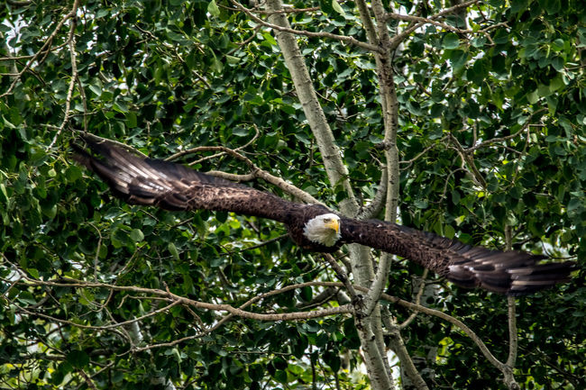 American Bald Eagle Beauty In Nature Bird Bird In Flight Birds Birds In Flight Close-up Day Eagle Eagle In Flight Eagles Flying Bird Focus On Foreground Lush Foliage Nature No People Outdoors Perching Soaring Tranquility Tree Tree Trunk Wingspan Showcase June