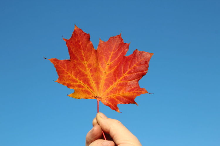 Cropped hand of person holding maple leaf against clear blue sky