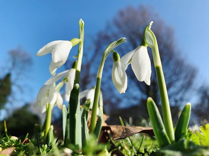 Plant Growth Flower Flowering Plant Fragility Nature Beauty In Nature Vulnerability  Close-up Freshness No People Day Focus On Foreground Petal Snowdrop Inflorescence Outdoors Flower Head Sky Green Color