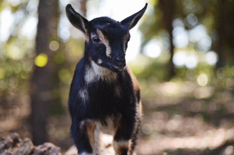 Marsha! Goat Goats Hello World Cheese! Check This Out Enjoying Life Taking Photos Forest Farm Outdoor Photography Love Trees Bark Farm Life Goatslife FarmAnimal Farmland Goats Goatfarm