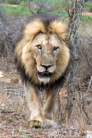 Glad that we had a zoomlens while this lion was approaching Animal Themes Animal Wildlife Animals In The Wild Carnivora Day Grass Lion Lion - Feline Lions Looking At Camera Male Mammal Nature No People One Animal Outdoors Portrait Roar Safari Animals Scar Scarred Scary Scary Face
