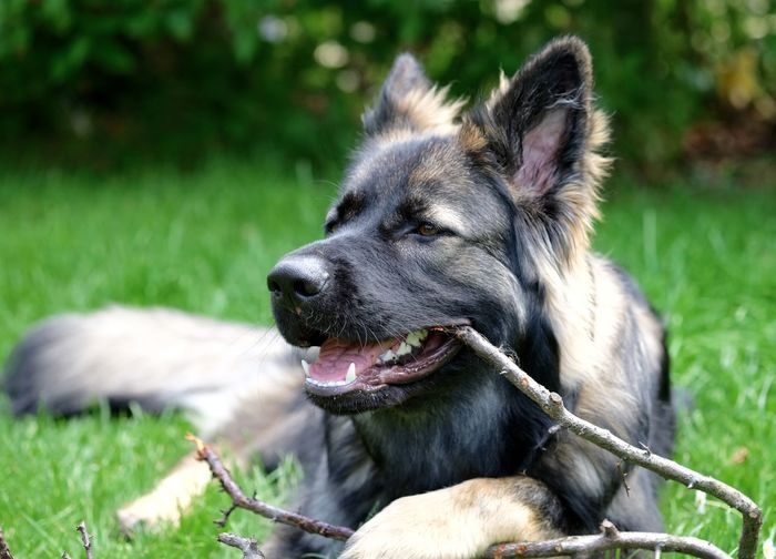 Close-up of dog carrying stick in mouth while sitting on field