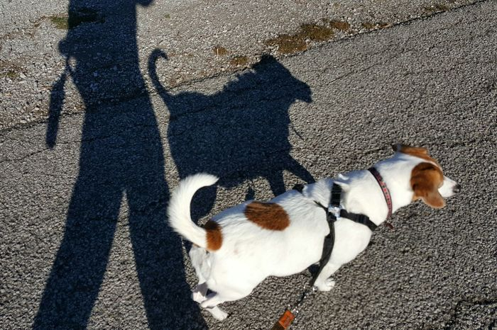 Animal Themes Domestic Animals Dog Pets Mammal Shadow High Angle View Sunlight One Animal Outdoors Day Mixed Breed Jackabee Jack Russell Terrier Beagle Medium Sized Dog Dogs Shadow Leash Dog Walking Active Lifestyle  Lifestyles Leisure Activity Togetherness Dog Lead