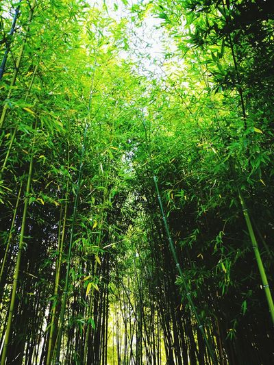 Nature Bamboo - Plant Bamboo Grove Forest Growth Green Color Full Frame Low Angle View Day Beauty In Nature Backgrounds Outdoors No People Tree Juvignac France