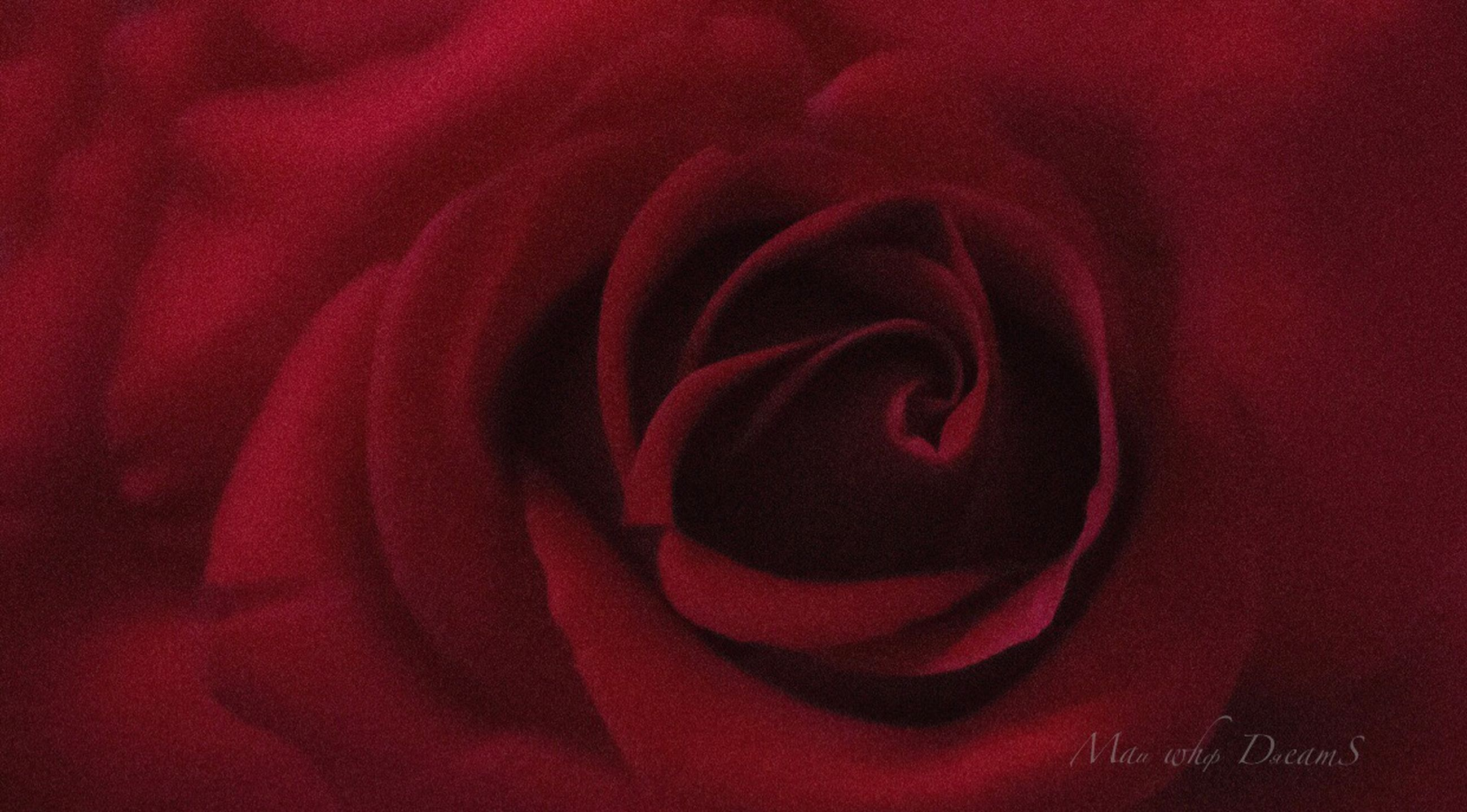 flower, flowering plant, beauty in nature, red, plant, rose, close-up, petal, inflorescence, flower head, rose - flower, fragility, freshness, vulnerability, nature, no people, full frame, indoors, growth, valentine's day - holiday