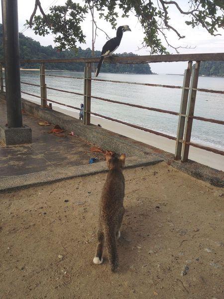 Hunter Cat Watching Toco Bird Pangkor Malaysia South East Asia