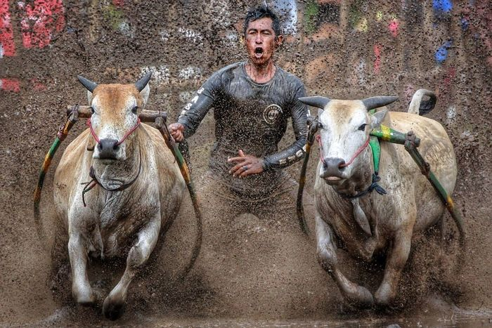 Pacu Jawi (Cow racing) 2017, Nagari Tabek, Tanah Datar, Padang, Indonesia. One Man Only Mammal One Person Adult Only Men Domestic Animals Agriculture People Outdoors Men Adults Only Day Nature Pacu Jawi Pacu Jawi 2017 Padang, Indonesia Minang Culture Minangkabau Tradition Traditional Culture And Tradition Culture Diversity Mobility In Mega Cities