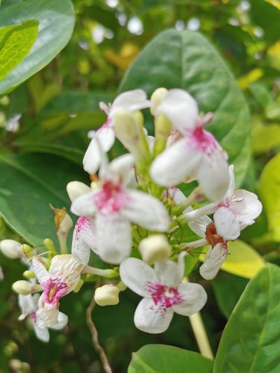 Close-up of white pink flowers on tree