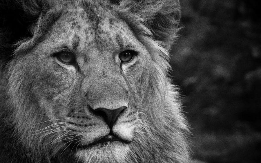 Siyah&beyaz  Aslan Lion