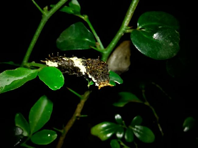 Plants 🌱 Insect Nature_collection Beauty In Nature Night Photography Nature In The Night Animals In The Wild Catterpillar
