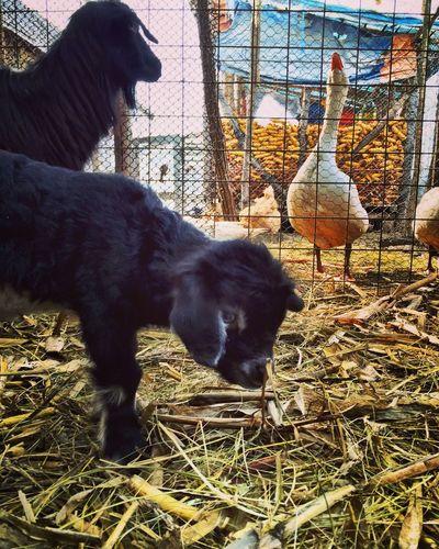 The Week Of Eyeem Baby Goat Goat Farm Life Farm Animals IPhoneography Taking Photos Animals Goose February 2016