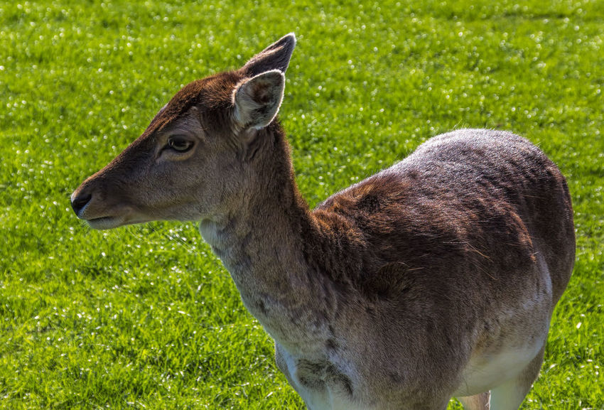 Animal Themes Animal Wildlife Animals In The Wild Close-up Day Field Grass Green Color Mammal Nature No People One Animal Outdoors Sika Deer