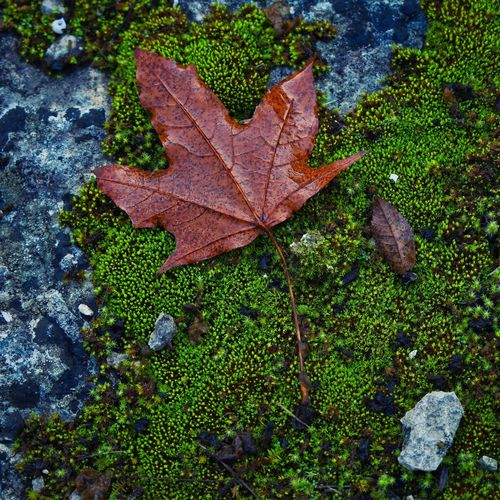 High angle view of maple leaves on tree