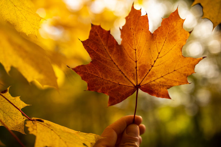 Autumn Plant Part Leaf Change Maple Leaf Focus On Foreground Human Hand Leaf Vein Close-up Yellow Nature One Person Plant Unrecognizable Person Holding Dry Real People Tree Human Body Part Maple Tree Hand Outdoors Body Part Finger Leaves