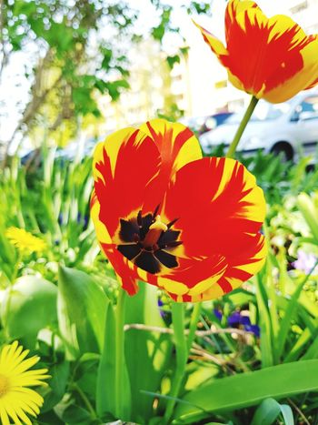 Red yellow tulips in spring Nature Landscape Outdoor Springtime Red Yellow Flowers Tulips Flower Head Flower Multi Colored Leaf Petal Butterfly - Insect Close-up Plant In Bloom Blossom Pollen Botany Blooming Plant Life Tulip