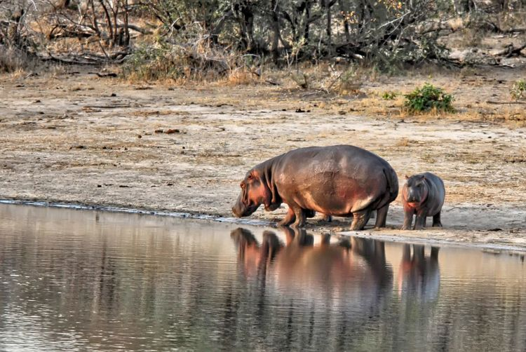 Side view of horse drinking water