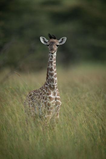 Baby masai giraffe stands in tall grass