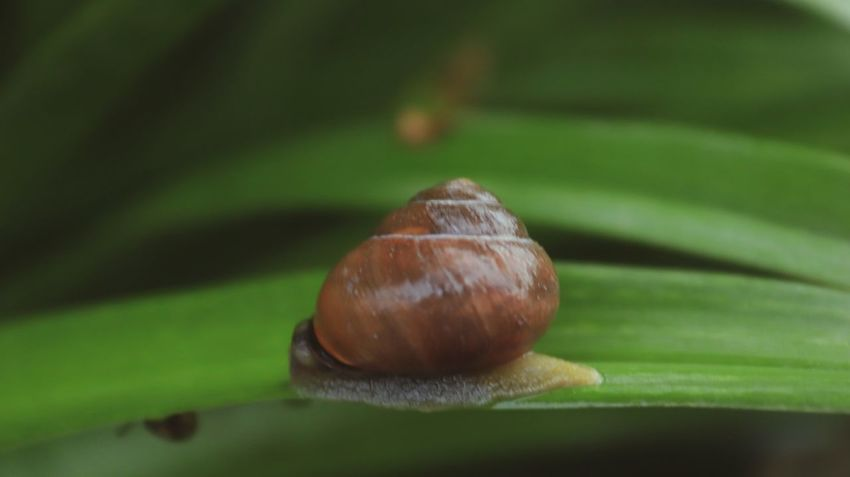 Snail🐌 Animal Wildlife Snail No People Mollusk Selective Focus Gastropod Invertebrate Shell Animal Themes Animal Green Color Leaf Brown Nature